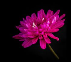 The Last Chrysanthemum | Flickr - Photo Sharing!