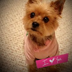 Yorkie juicy couture I love you cute Yorkshire terrier cute teacup washitape adorable #yorkshireterrier