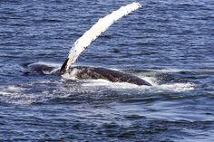 Humpback Whale | Endless Wildlife