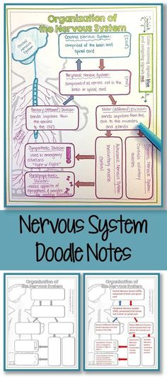 Sympathetic nervous system and stress diagram of the breakdown of divisions of the nervous system doodle notes ccuart Image collections