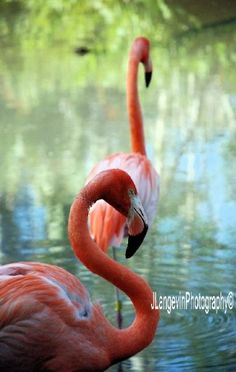 Flamingos at Jungle Gardens in Sarasota, FL. Short drive from Gulf Tides in Longboat Key.