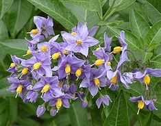Chilean potato vine, Chilean nightshade, Chilean potato tree and potato vine Colorful Flowers, Purple Flowers, Evergreen Climbing, Blue Potatoes, Potato Vines, Plantation, Landscaping Tips, Green Plants, Gardens
