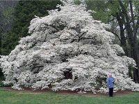Amazing dogwood tree - truly southern!