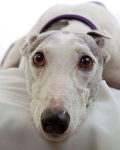 Greyhound I WANT!