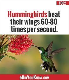 Hummingbirds beat their wings times per second. Animal Facts, Animal 2, Good To Know, Did You Know, Fun Facts, Random Facts, Random Stuff, Ripley Believe It Or Not, Amazing Facts