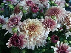 Chrysanthemum - Top 10 NASA Approved Houseplants for Improving Indoor Air Quality