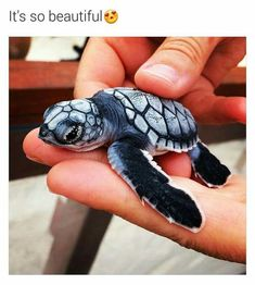 Best photos, images, and pictures gallery about baby sea turtle - sea turtle facts. Cute Creatures, Beautiful Creatures, Animals Beautiful, Beautiful Images, Baby Sea Turtles, Cute Turtles, Turtle Baby, Mini Turtles, Small Turtles