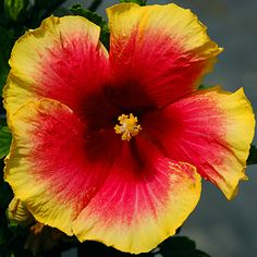 Exotic Hibiscus 'Coral Fire'