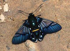 Felder's Bee Skipper - Butterflies of Amazonia - Oxynetra semihyalina