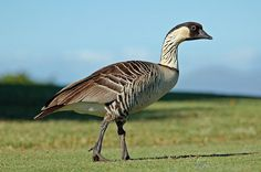 nene goose (state bird of Hawaii)