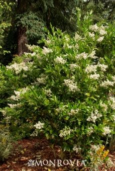 Monrovia's Waxleaf Privet details and information. Learn more about Monrovia plants and best practices for best possible plant performance.