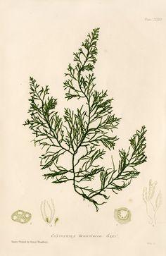 Antique prints of nature printed seaweeds by Henry Bradbury 1859