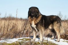 Caucasian Shepherd dog by Nika Petrova on 500px