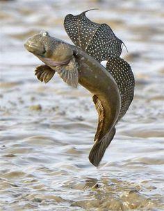 Boleophthalmus pectinirostris, Ariake Sea, #Japan. #mudskipper