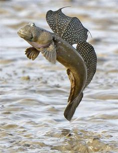 BOLEOPHTALMUS PECTINIROSTRIS . Ariake Sea, Japan | ....... a genus of mudskipper native to the Indian Ocean and the western Pacific Ocean ... There are currently 6 recognized species in this genus. (wiki)