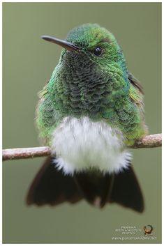 Snowy-bellied Hummingbird (Amazilia edward) #hummingbirds