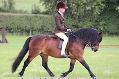 Dartmoor pony - Zara Scudamore and Moortown Honeyboy going Ridden Supreme Champions at the Championship Breed Show 2015