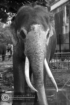 another great tusker after a wash. we managed to get a closer look this time