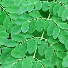 """The Eden Prescription April 28   Moringa Oleifera Kills 93% of Breast Cancer Cells in Vitro: Researchers have just shown in a new study that a cold-water extract of moringa oleifera leaves kills up to 93% of human breast cancer cells (MCF7) in vitro. The extract was also seen to potently kill human lung and skin cancer cells, and potently reduced proliferation and migration (the ability of the cancer to spread or metastasize). Moringa, also called the """"miracle tree,"""" has a long history of…"""