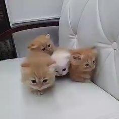 Listen to the miuuuu miuuuu miuuuu: 3 - Cat Breeds Cute Baby Cats, Cute Cats And Kittens, Kittens Cutest, Fluffy Kittens, Fluffy Cat, Kitten Gif, Cat Gif, Baby Animals, Cute Animals