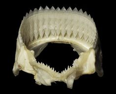 Jaws of a cookie cutter shark. These guys have been known to attack Nuclear subs