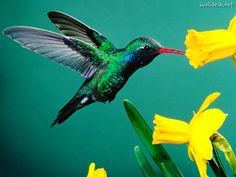 Cofradias coelorianas: Mil pajaros volando en mi alma estan...