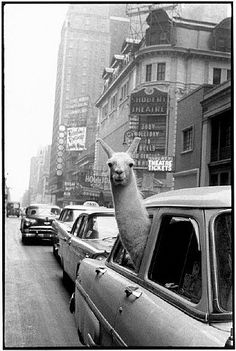 "NYC. A Llama in Times Square, 1957. She stated that West Side Story was ""The most beautiful theater play I've ever been to!!! ""  // by Inge Morath  Magnum Photos"