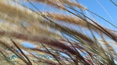 COLA DE ZORRO by PIPEJIMENEZ, via Flickr Utility Pole, Plants, Fox Tails, Photos, Flora, Plant