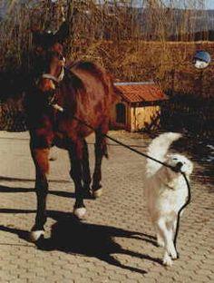 """Kuvasz """"dog of the horse"""""""