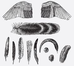 FEATHERS & WINGS FREE VINTAGE VECTOR PRINTABLE | http://www.freevintagevectors.com/2015/10/feathers-wings.html