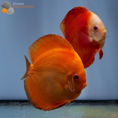 Tropical Freshwater Fish, Freshwater Aquarium Fish, Tropical Fish, Acara Disco, Betta Fish Types, Discus Fish, Pet Fish, Underwater Life, Beautiful Fish
