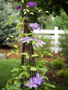 DIY: growing clematis