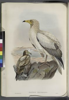 003-Neophron percnopterus. Egyptian  Vulture      ...