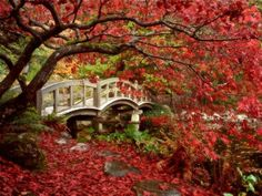 Red Maples in a Japanese garden ~ JAPAN