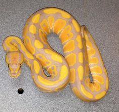 Rainbow GHI by Brad Boa Reptiles