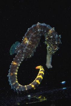 Fish Index: Tiger Tail Seahorse (Hippocampus comes)