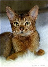 Abyssinian, can i have one?