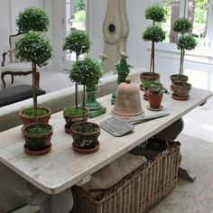 Eight topiary trees in terracotta pots.