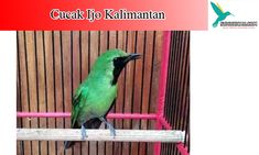 10 Burung Cucak Ijo Ideas In 2020 Bird Animals Banyuwangi