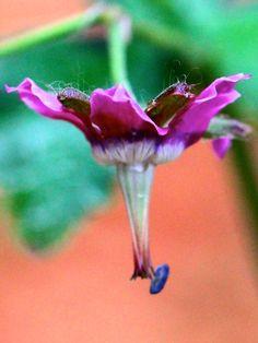 A new hardy geranium in the garden