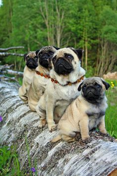 Pugs on a log! This is what I wish for- a whole bunch of pugs!!