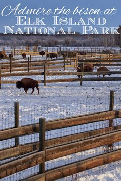A visit to Elk Island National Park to learn all about the Bison and their history in Alberta. #ExploreAlberta