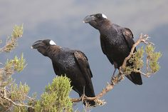 The thick-billed raven (Corvus crassirostris) from the Ethiopian Highlands is the largest member of the crow family.