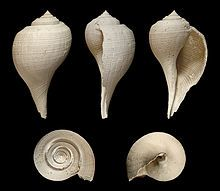 Five different views of a shell of a Fulguropsis species.  Fulguropsis is a genus of sea snails, marine gastropod mollusks in the family Melongenidae, the crown conches and their allies.