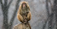 Macaco observa a neve cair no parque Xiangshan, na China