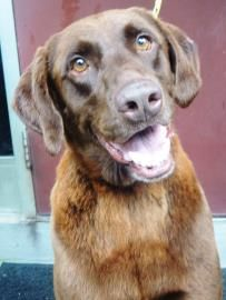 Hershey is a Chocolate Lab in CHarlotte NC looking for a forever home! 4-18-14