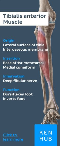 At the height of the lower tibia the tibialis anterior #muscle merges into a tendon which is led by both extensor retinacula of the foot and finally inserts at the plantar side of the medial cuneiform and first metatarsal bone. #learn #anatomyhttps://www.kenhub.com/en/library/anatomy/anterior-muscles-of-the-lower-leg?utm_source=pinterest&utm_campaign=organic&utm_medium=pin