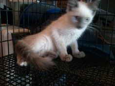 Valero is an adoptable Siamese Cat in Cumming, GA. Valero is a beautiful long hair seal point Siamese with probably some Maine Coon mixed in judging from the size of his feet & having seen his mom. He...