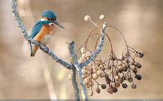 A common kingfisher enjoying a gorgeous morning in the Hula Valley...