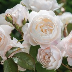 David Austin Roses - Bare root roses, Container roses, English Roses, Climbers, Ramblers - Buy online 'Desdemona' the very latest beautiful rose from David Austin. I do hope this rose eventually reaches NZ.